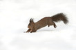 Squirrel running in the snow