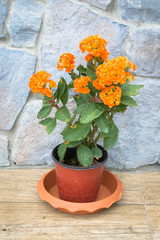 Kalanchoe flower blossoms