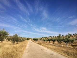 secundary road amidst olive trees
