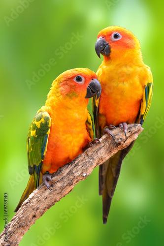 Papiers peints Perroquets Sun Conure parrot bird