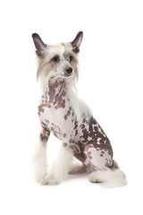 Hairless Chinese Crested dog sitting in front of white backgroun