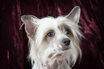 Portrait of a purebred Hairless Chinese Crested dog