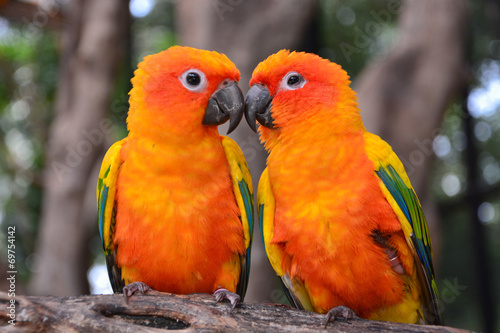 Staande foto Papegaai Sun Conure parrot bird