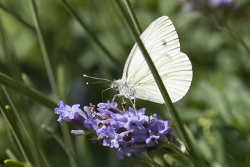 Cabbage Butterfly
