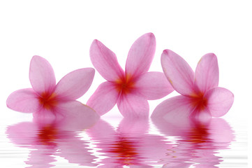 Three red frangipani with water reflection