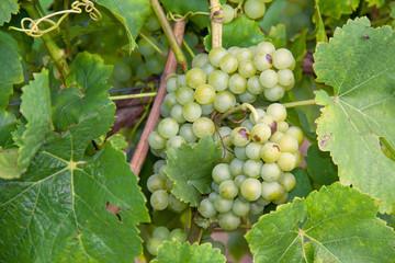 Vignobles à Wangen sur les coteaux alsaciens à la route des vins