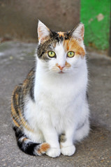 Spotted multicolor cat