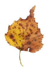 Blatt, Baum, Herbst 001