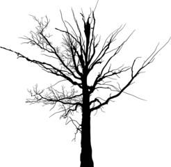 black dead large tree silhouette on white