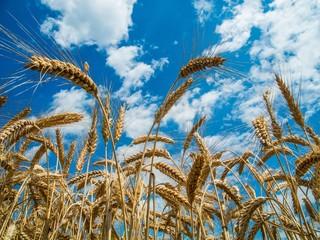 Weizenfeld zur Erntezeit