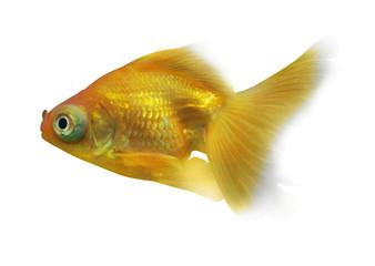 yellow goldfish with large eyes