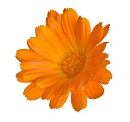 single orange marigold bloom isolated on white