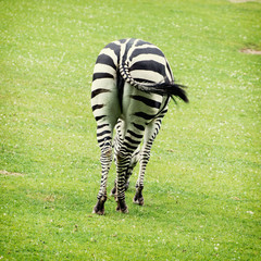 Rear view of zebra