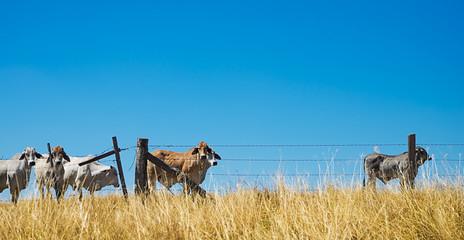 Australian Beef Cattle on the Horizon