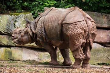 Indian rhinoceros (Rhinoceros unicornis)
