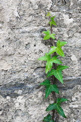climber plant