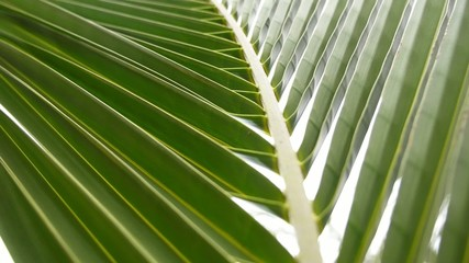 Closeup of Green Palm Leaves Background. Slow Motion.
