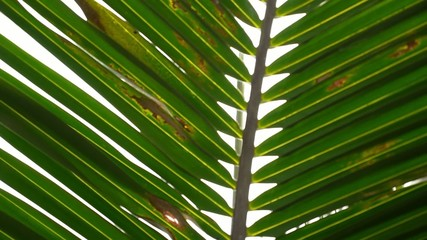 Closeup of Palm Leaves Texture. Slow Motion.