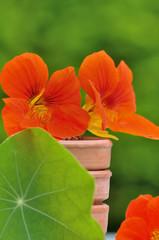 capucine dans pots de fleurs