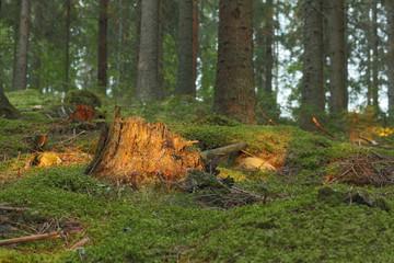 Sunlit stub in coniferous forest