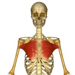 Pectoralis major muscles