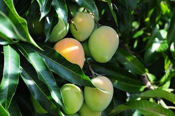 Ripe mangos on a tree