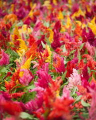 Colorful cockscomb Flowers