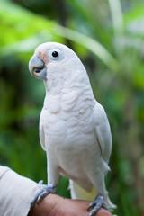 Cockatoo bird