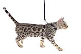 Fototapety bengal cat