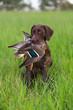 Охотничья собака