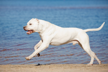 dogo argentino running on the beach