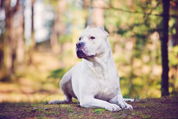 dogo argentino dog in the forest