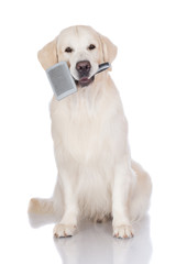 golden retriever dog with a brush