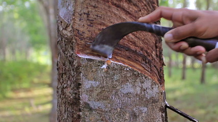HD footage of Tapping latex from a para rubber tree