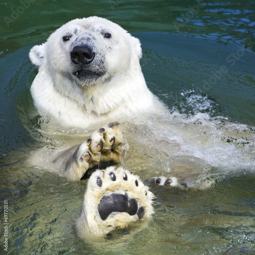 Foto op Canvas Ijsbeer Polar bear swimming