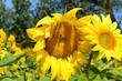 Obrazy na płótnie, fototapety, zdjęcia, fotoobrazy drukowane : Biene auf einer Sonnenblume