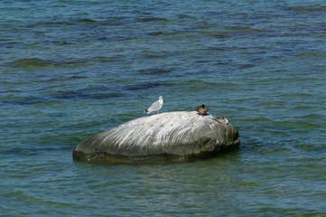 Möwe und Ente auf Stein auf Insel Poel 7