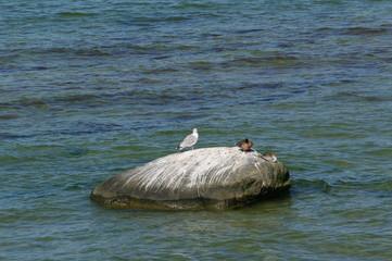 Möwe und Ente auf Stein auf Insel Poel 8