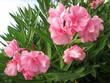 canvas print picture - Fleur d'ete rose