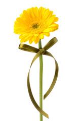 Beautiful daisy gerbera flower