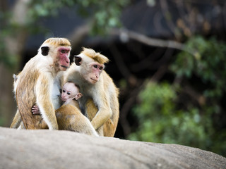 Family of red-faced Macaque monkeys in the forest