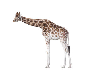 Giraffe isolated on white with clipping path