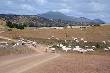 landscape and merino flock