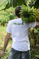 Organic farmer carrying bananas