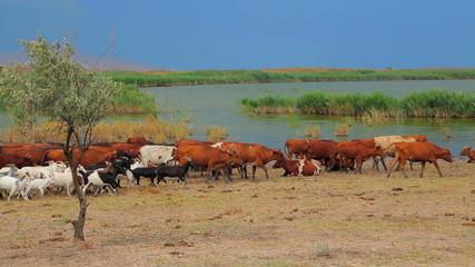 Goats And Cows Walking Near Lake