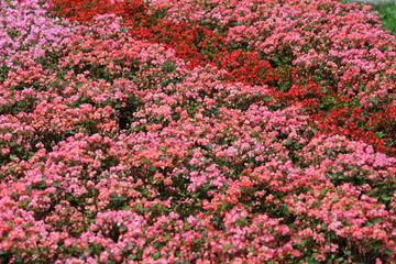ベゴニア花壇