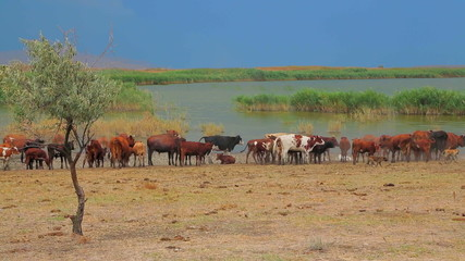 Group of Goats And Cows  Near Lake