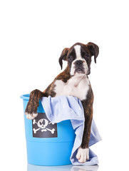 Boxer dog inside a bucket
