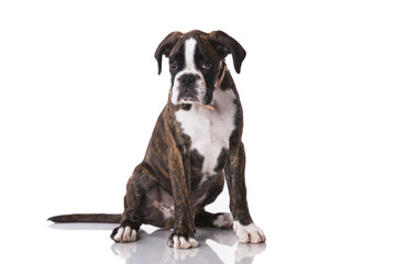 Boxer dog at studio