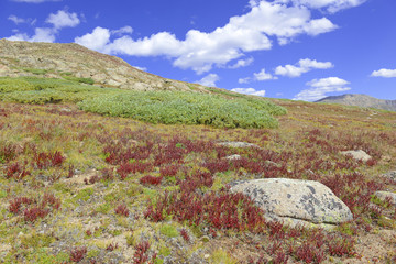 Alpine Tundra Groundcover in Autumn colors, Rocky Mountains, USA